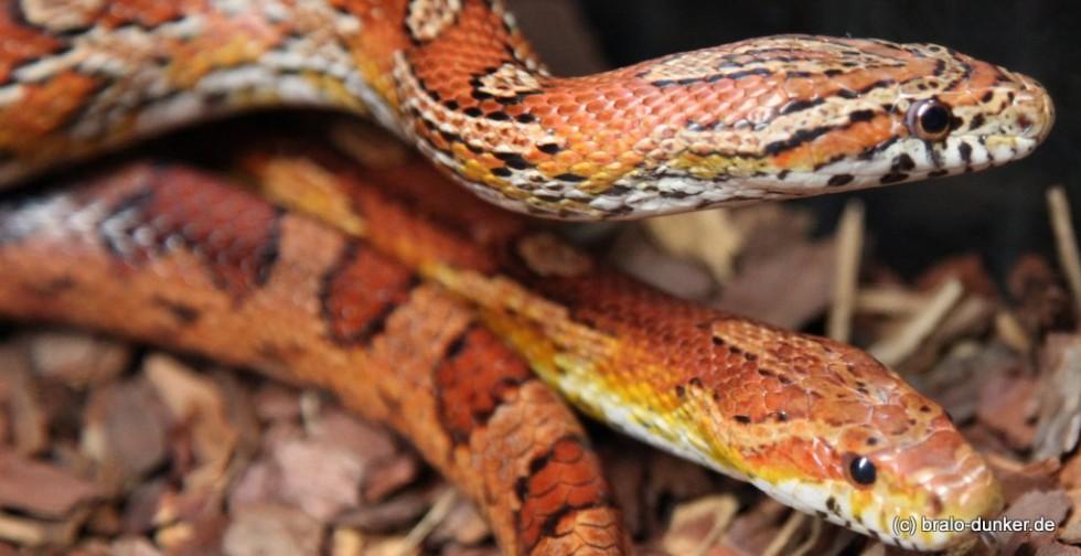 Schlangen haustiere
