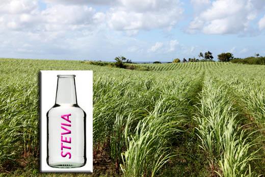 Stevia statt Zucker. Hat das gute alte Zuckerrohr (HIntergrund) bald ausgedient? Die süße Alternative Stevia ist auf dem Vormarsch...